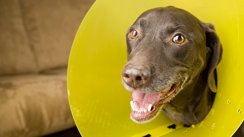 Dog wearing an Elizabethan Collar after surgery