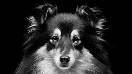 Black and white sheltie dog