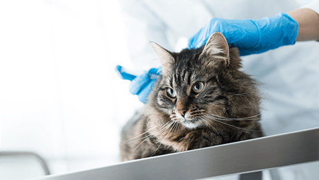 Cat receiving injections at animal hospital