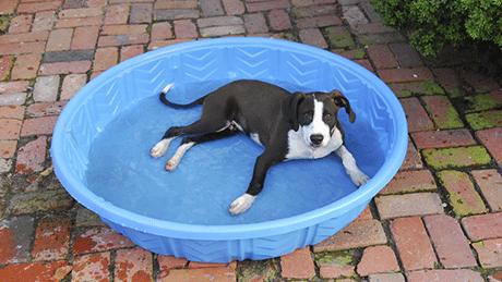 Dog keeping cool in Salt Lake City heat by relaxing in a baby pool