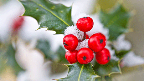 Holly berries and leaves in snow