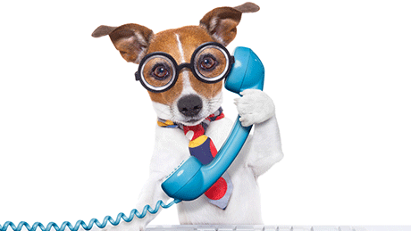 Jack Russell Terrier on the Phone