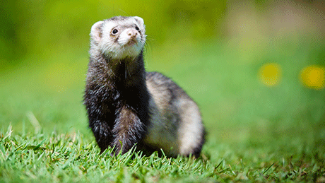 Pet Ferret sitting on the lawn